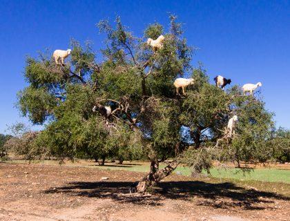 essaouira-morocco-argan-tree-goats